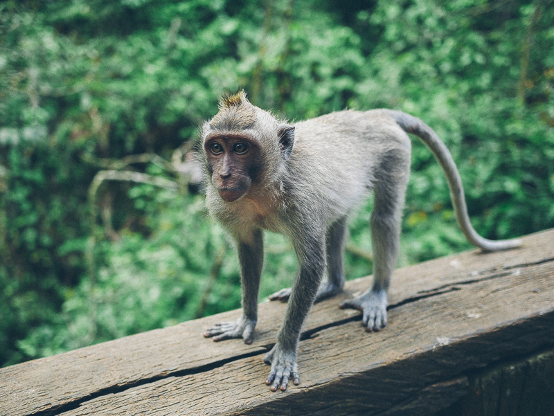 Monkey Forest Ubud best monkey photo