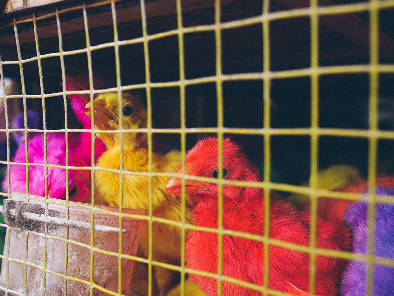 ubud market colored chicks